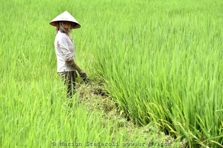 Rizières Tu Le Vietnam